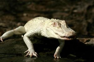 cocodrilo-albino-devora-pescador-australia_726537409_9581843_1024x682