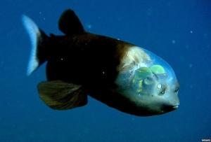 peix-follet